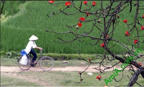 Hình ảnh hoa gạo làng quê