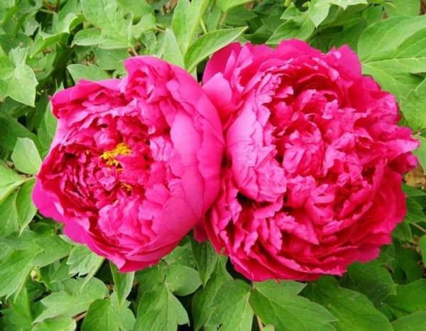 Tranh hoa mẫu đơn 2 bông treo phòng ngủ cho người độc thân AmiA MD002