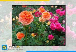 Hình ảnh Tranh hoa hồng gợi ý làm theo yêu cầu AmiA HH01