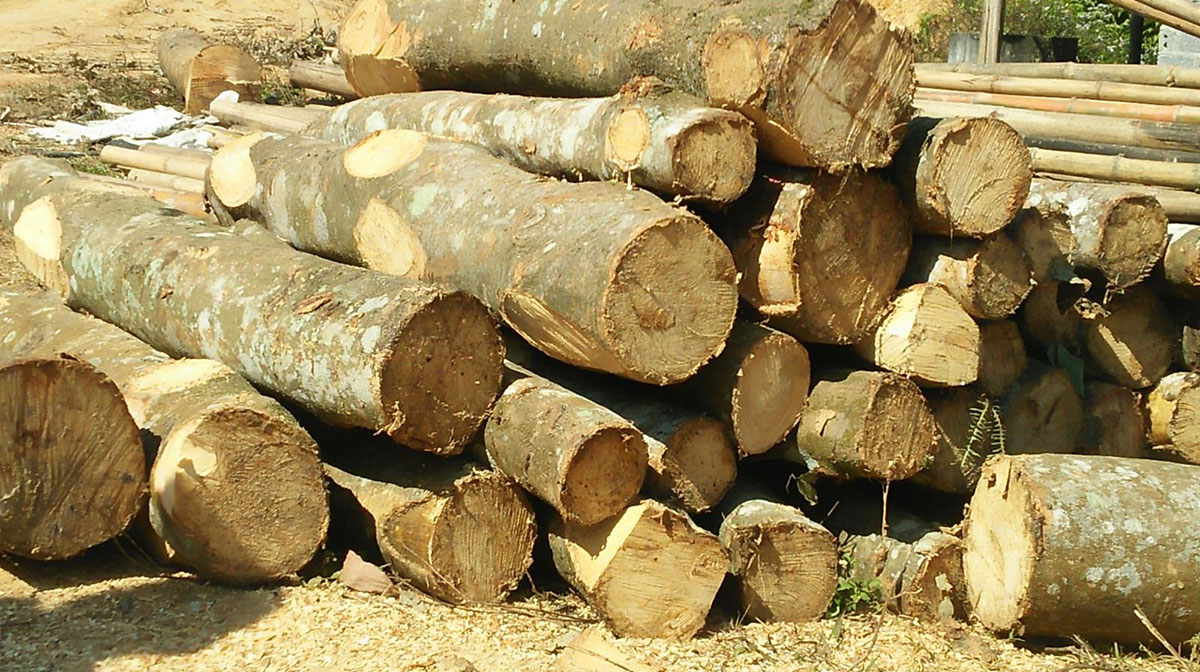 gỗ cao su khi thu hoạch gỗ